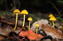 Yellow waxgills Stock Image