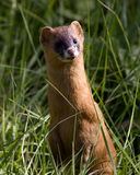 Yellow weasel. A weasel at the bushes where to see birds Stock Image
