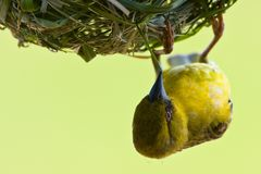 Yellow Weaver Stock Image