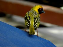 Yellow Weaver Stock Photos