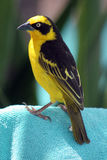 Yellow Weaver Bird or Finch. A yellow male weaver bird, related to the finch stock photos