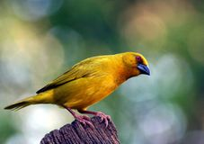 Yellow Weaver Bird. A yellow weaver bird sitting on a fence post stock image