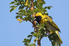 Yellow weaver on bush Stock Image