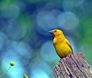 Yellow Weaver & Flower. A yellow weaver bird sitting on a fence post and a yellow flower Stock Image