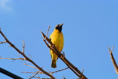 Yellow Weaver. Weaver Perchd on a Branch Royalty Free Stock Images