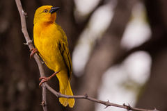 Yellow Weaver Royalty Free Stock Image