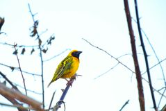 Yellow weaver. Perched on a branch enjoying morning Stock Photography