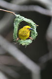 Yellow Weaver Royalty Free Stock Photo