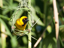 Yellow weaver staring from nest frame Stock Image