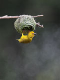 Yellow Weaver Stock Images