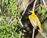 Yellow weaver in willow Royalty Free Stock Images