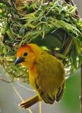 Yellow Weaverbird Royalty Free Stock Photo