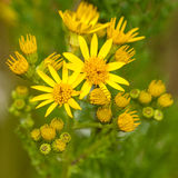 Yellow Weed. Quite a few pretty yellow weeds just about to open royalty free stock images