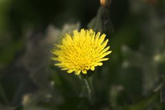 Yellow weed flower. Beautiful shot of yellow weed flower in jungle Royalty Free Stock Image