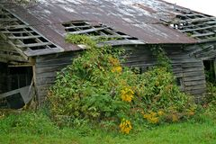 Rusty Barn, Yellow Weeds Royalty Free Stock Photography