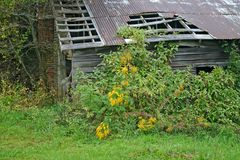 Yellow Weeds, Rusty Barn Royalty Free Stock Photos