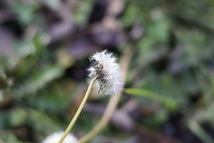 Yellow weeds seeds instead of snow in my garden in januar royalty free stock photo