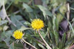 Yellow weeds instead of snow in my garden in januar Stock Image