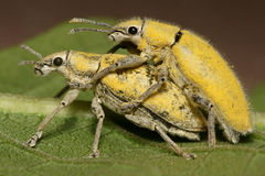 Yellow Weevil Mating Royalty Free Stock Photos
