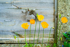 Yellow Welsh Poppy Flowers Stock Photography