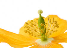 Yellow or Welsh Poppy Stock Image