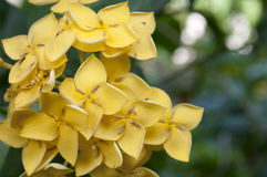 Yellow west indian jasmine Royalty Free Stock Photo
