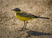 Yellow western wagtail Royalty Free Stock Image