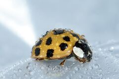 Yellow wet ladybug  Stock Images