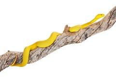 Yellow Wetar Island Tree Viper on Branch Royalty Free Stock Photo