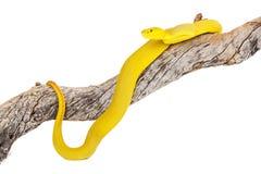 Yellow Wetar Island Tree Viper Royalty Free Stock Photo