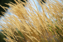 Yellow wheat Stock Photography