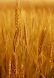 Yellow wheat. Stock Photos