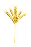 Yellow wheat Royalty Free Stock Photography
