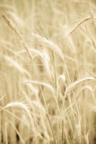Yellow wheat Royalty Free Stock Photos