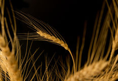 Yellow wheat Royalty Free Stock Images