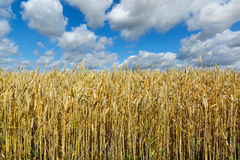 Yellow wheat against the blue sky Royalty Free Stock Photography