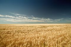 Yellow wheat on a background of blue sky stock photography
