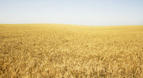 Yellow wheat and the clea Royalty Free Stock Images