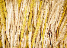Yellow wheat cobs, agricultural theme. Yellow wheat cobs. Agricultural theme. Harvest background Stock Photo