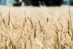 Yellow Wheat during Daytime Royalty Free Stock Images