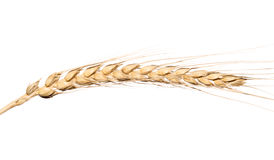 Yellow wheat ear isolated on white background Royalty Free Stock Photo