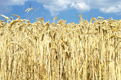 Yellow wheat ears against the blue sky Royalty Free Stock Images