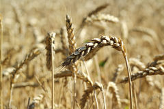 Yellow wheat ears  background Royalty Free Stock Photography