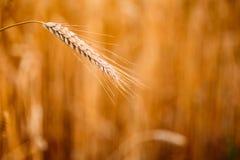 Yellow wheat ears Royalty Free Stock Image