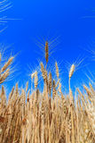 Yellow wheat ears on the field Royalty Free Stock Images
