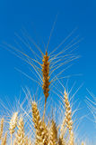 Yellow wheat ears on the field Royalty Free Stock Image