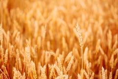 Yellow wheat ears Stock Photos