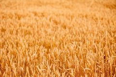 Yellow wheat ears Stock Image