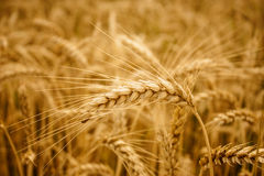 Yellow wheat ears field background. In summer day royalty free stock image