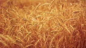 Yellow Wheat Ears Field Blowing In Wind stock video footage